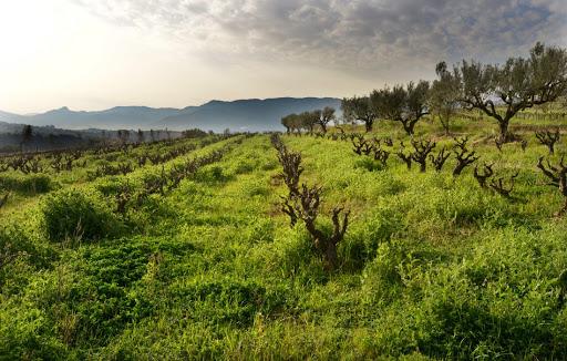 Weingarten Finca Parera 1