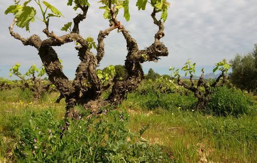 Weingarten Finca Parera 2