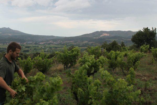 Cyril Fhal im Weingarten