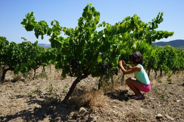 Grenache vom Jeunes Vignes